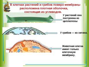 В клетках растений и грибов поверх мембраны расположена плотная оболочка, со