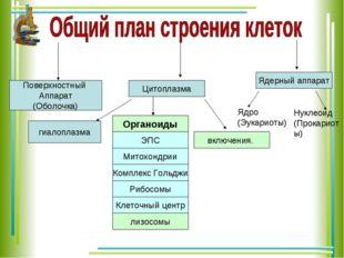Поверхностный Аппарат (Оболочка) Цитоплазма Ядерный аппарат Органоиды включен