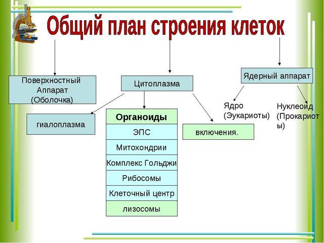 Поверхностный Аппарат (Оболочка) Цитоплазма Ядерный аппарат Органоиды включен...