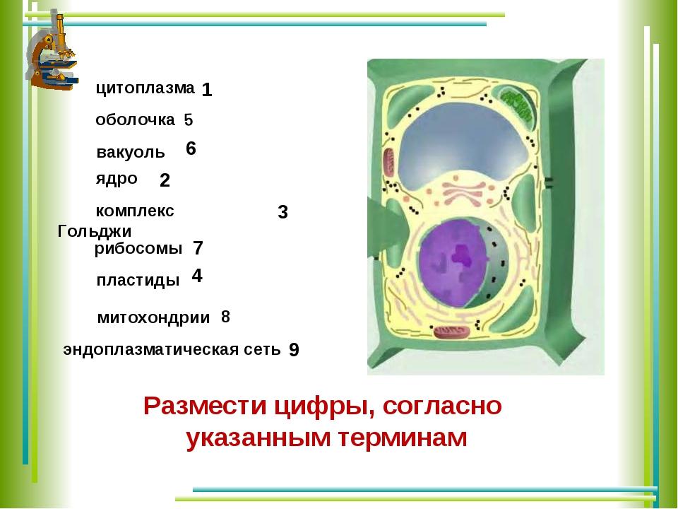 цитоплазма оболочка вакуоль ядро комплекс Гольджи рибосомы пластиды 3 2 1 4...
