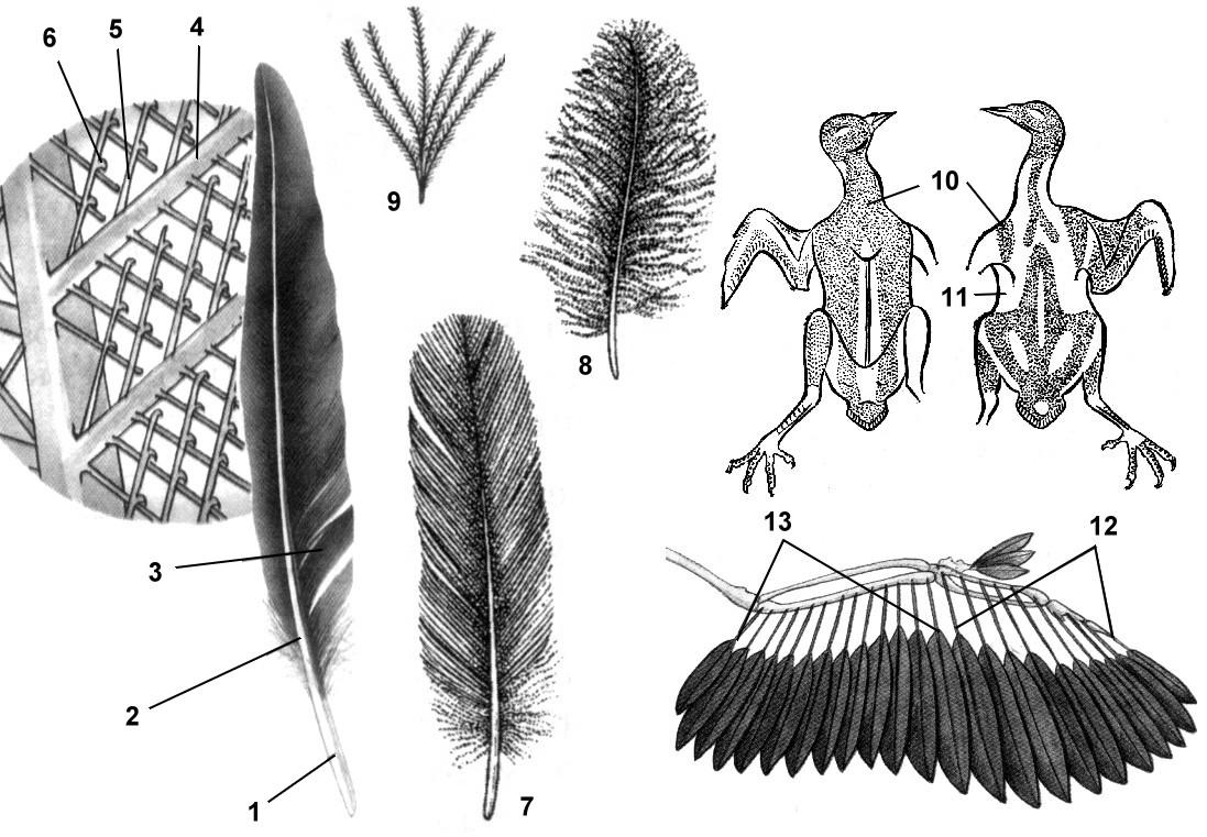 анатомия птиц картинки немцовым пришли