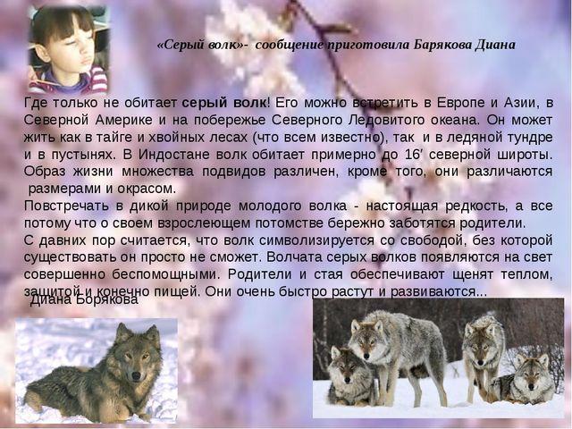 Диана Борякова Где только не обитаетсерый волк! Его можно встретить в Европе...