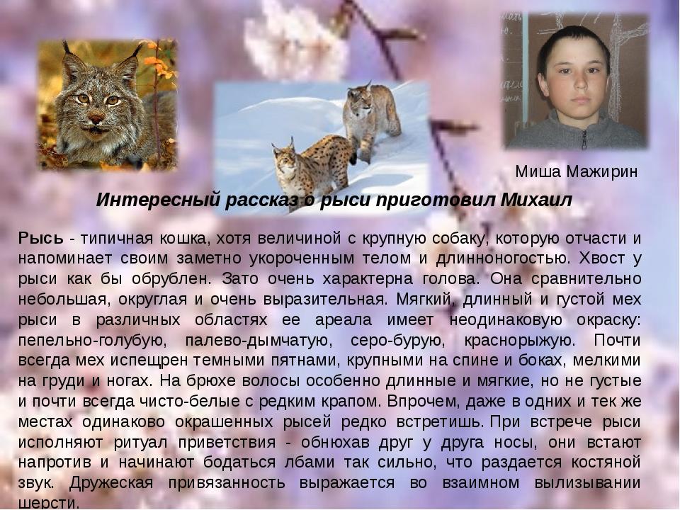Миша Мажирин Рысь - типичная кошка, хотя величиной с крупную собаку, которую...