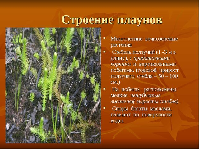 Строение плаунов Многолетние вечнозеленые растения Стебель ползучий (1 -3 м...