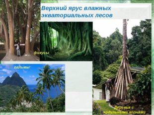 Верхний ярус влажных экваториальных лесов фикусы Деревья с ходульными корнями