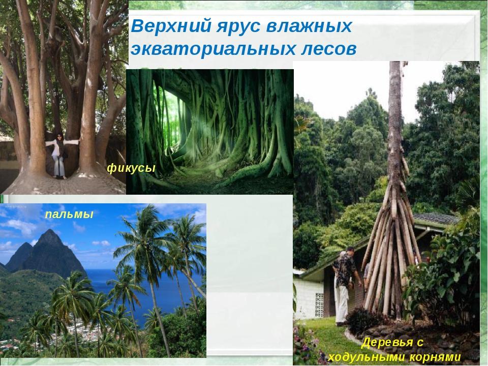 Верхний ярус влажных экваториальных лесов фикусы Деревья с ходульными корнями...