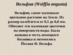 Вольфия (Wolffia angusta) Вольфия, самое маленькое цветковое растение на Земл