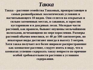 Такка Такка – растение семейства Такковых, произрастающее в самых разнообразн