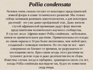 Pollia condensata Человек очень сильно отстает от некоторых представителей зе