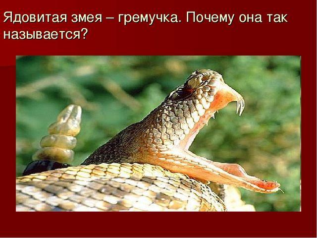 Ядовитая змея – гремучка. Почему она так называется?
