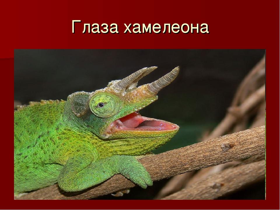 Глаза хамелеона
