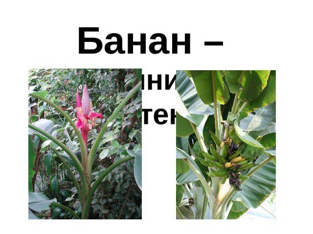 Банан – травянистое растение