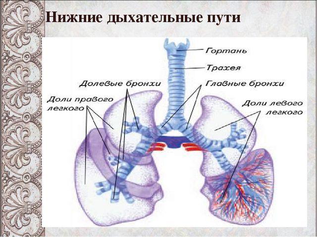 Нижние дыхательные пути