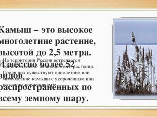 Камыш – это высокое многолетние растение, высотой до 2,5 метра. Известно боле