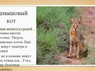 Камышовый кот Камыш является средой обитания многих животных. Тигров, камышов