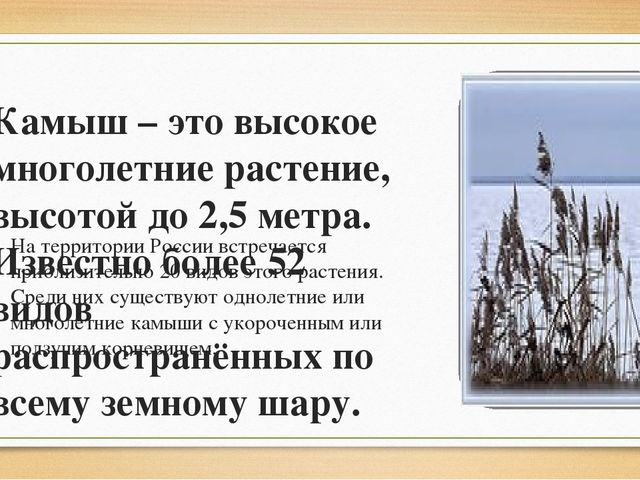 Камыш – это высокое многолетние растение, высотой до 2,5 метра. Известно боле...
