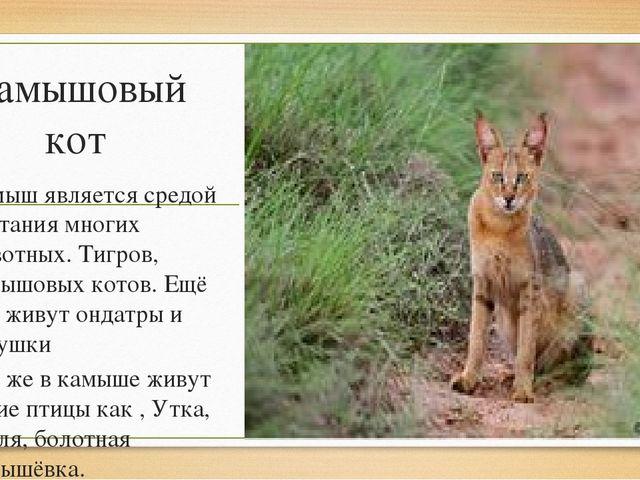 Камышовый кот Камыш является средой обитания многих животных. Тигров, камышов...