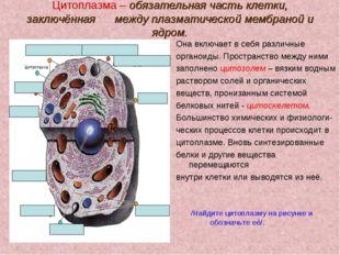 Цитоплазма – обязательная часть клетки, заключённая между плазматической мемб