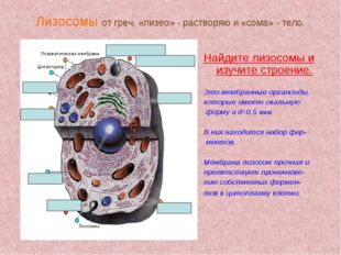 Лизосомы от греч. «лизео» - растворяю и «сома» - тело. Найдите лизосомы и изу