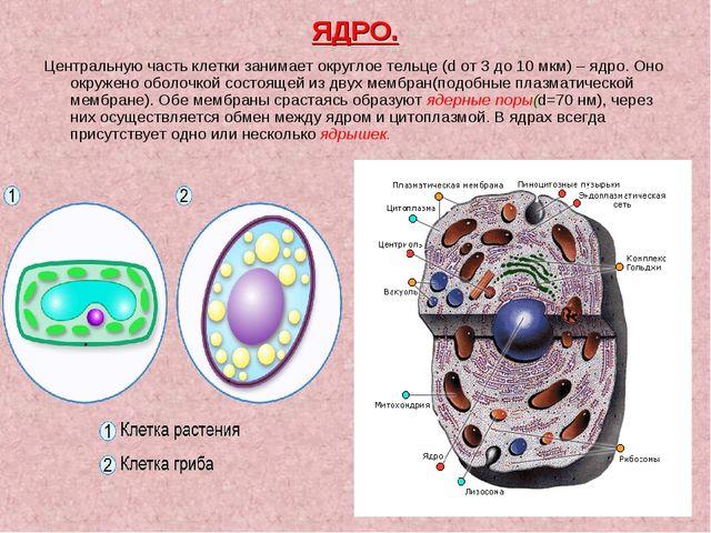 ЯДРО. Центральную часть клетки занимает округлое тельце (d от 3 до 10 мкм) –...