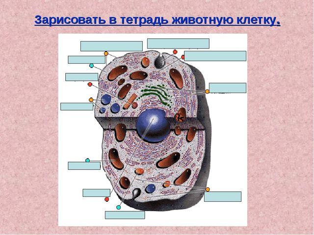 Зарисовать в тетрадь животную клетку.