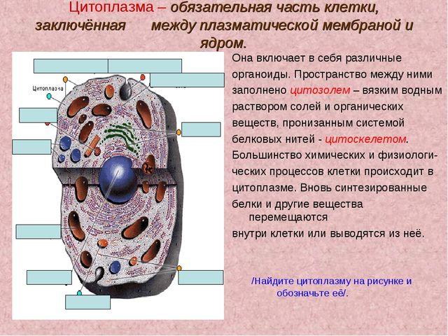 Цитоплазма – обязательная часть клетки, заключённая между плазматической мемб...