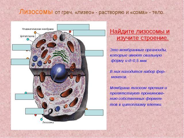 Лизосомы от греч. «лизео» - растворяю и «сома» - тело. Найдите лизосомы и изу...
