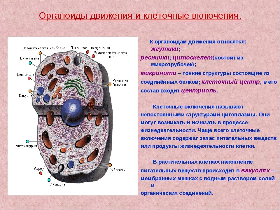 Органоиды движения и клеточные включения. К органоидам движения относятся: жг...