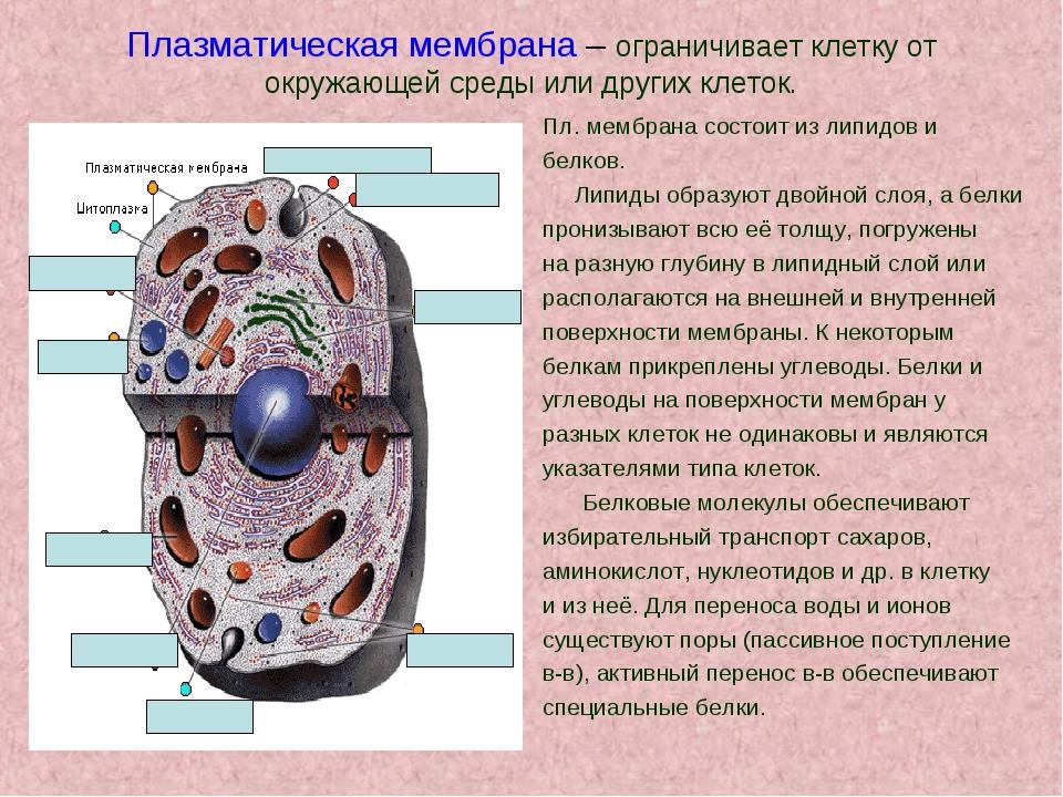 Плазматическая мембрана – ограничивает клетку от окружающей среды или других...
