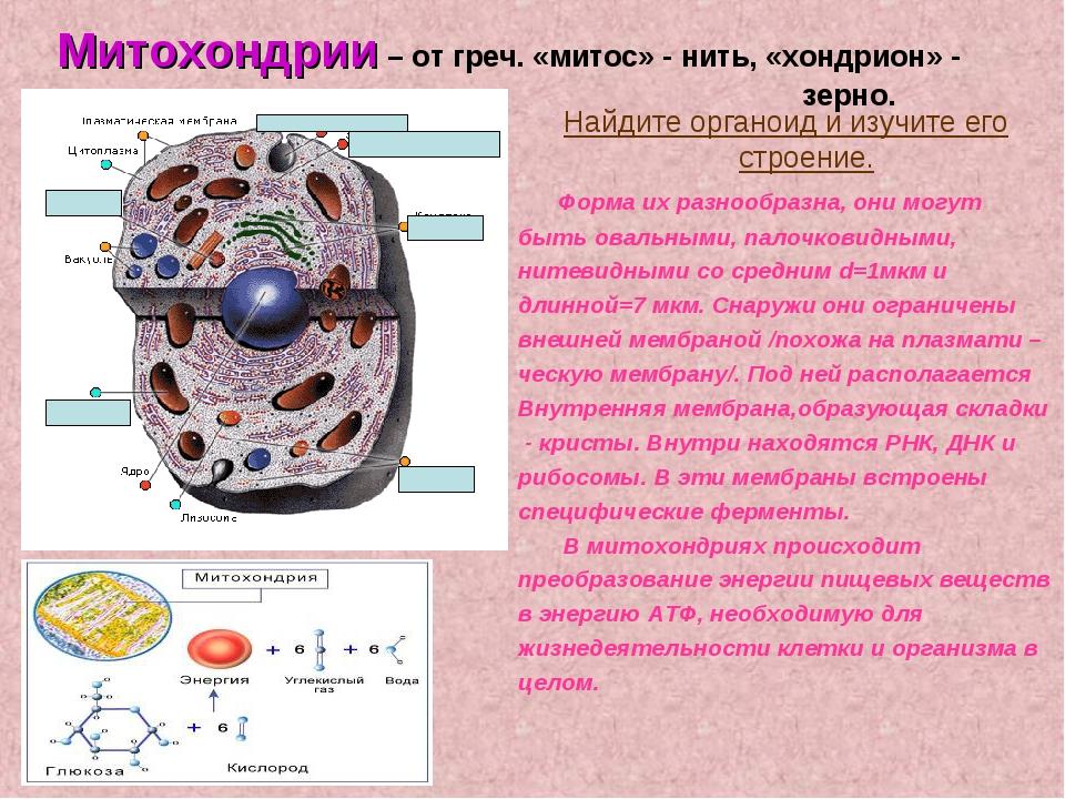 Митохондрии – от греч. «митос» - нить, «хондрион» - зерно. Найдите орг...