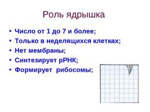 Роль ядрышка Число от 1 до 7 и более; Только в неделящихся клетках; Нет мембр