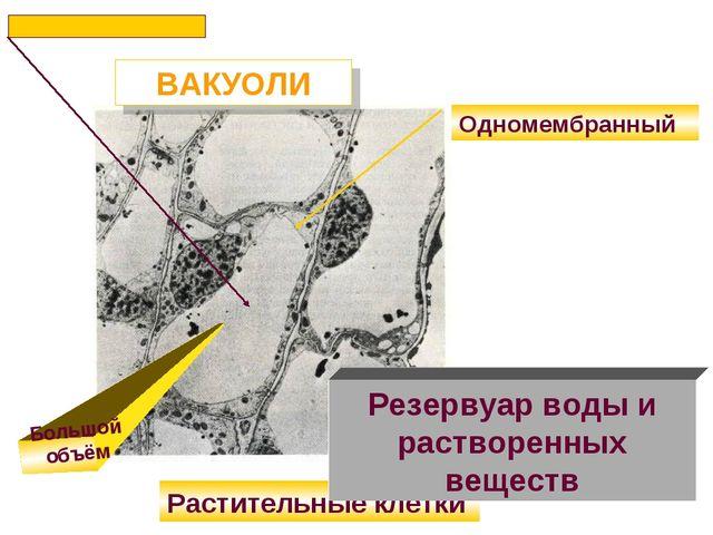 ВАКУОЛИ Одномембранный Растительные клетки Резервуар воды и растворенных веще...