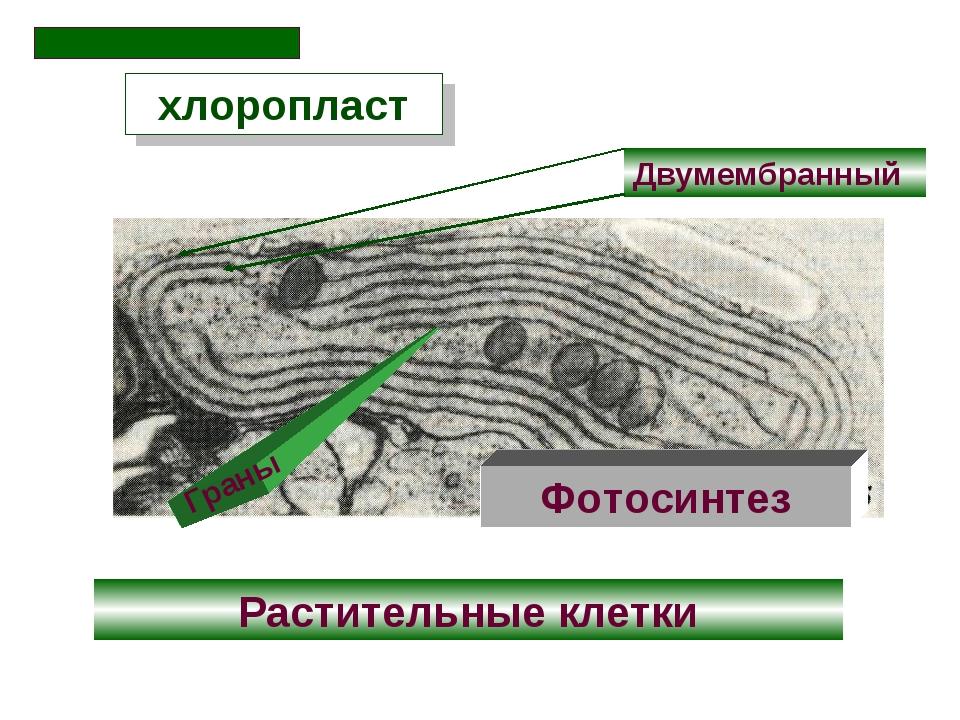 Двумембранный хлоропласт Растительные клетки Фотосинтез Граны