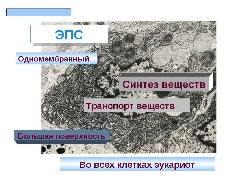 ЭПС Одномембранный Большая поверхность Синтез веществ Во всех клетках эукарио...