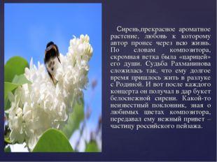 Сирень,прекрасное ароматное растение, любовь к которому автор пронес через в