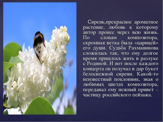 Сирень,прекрасное ароматное растение, любовь к которому автор пронес через в...