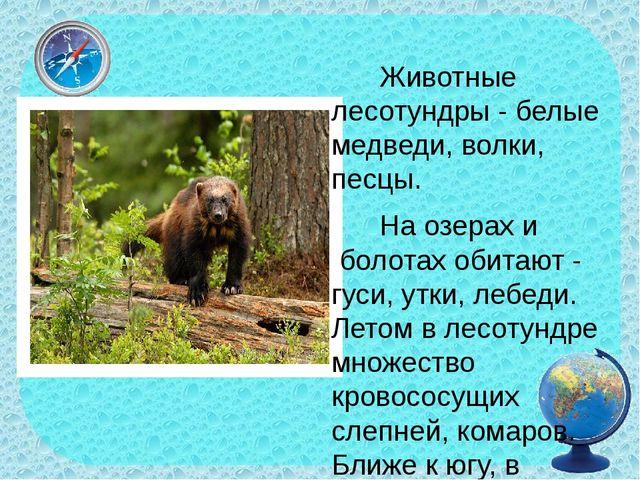 Животные лесотундры - белые медведи, волки, песцы. На озерах и болотах обит...