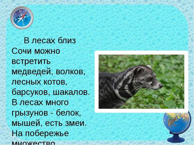 В лесах близ Сочи можно встретить медведей, волков, лесных котов, барсуков,...