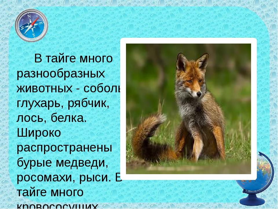 В тайге много разнообразных животных - соболь, глухарь, рябчик, лось, белка....