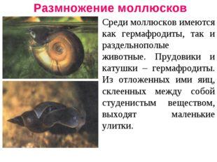 Размножение моллюсков Среди моллюсков имеются как гермафродиты, так и раздель