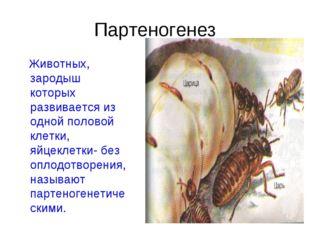 Партеногенез Животных, зародыш которых развивается из одной половой клетки, я
