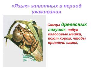 «Язык» животных в период ухаживания Самцы древесных лягушек, надув голосовые