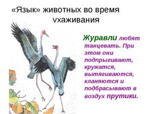 «Язык» животных во время ухаживания Журавли любят танцевать. При этом они под