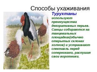 Способы ухаживания Турухтаны используют преимущества декоративных перьев. Сам