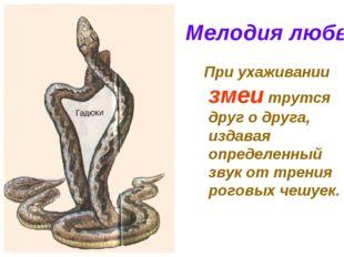 Мелодия любви При ухаживании змеи трутся друг о друга, издавая определенный з