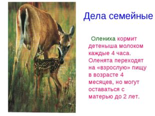 Дела семейные Олениха кормит детеныша молоком каждые 4 часа. Оленята переходя