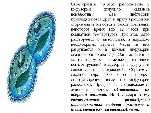 Своеобразное половое размножение у инфузорий получило название конъюгации. Дв...