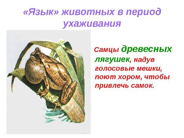 «Язык» животных в период ухаживания Самцы древесных лягушек, надув голосовые...