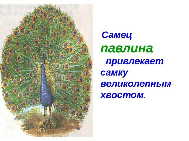 Самец павлина привлекает самку великолепным хвостом.