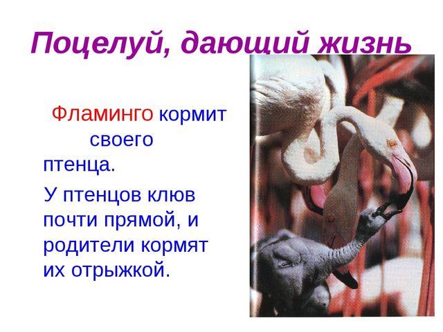 Поцелуй, дающий жизнь Фламинго кормит своего птенца. У птенцов клюв почти пря...